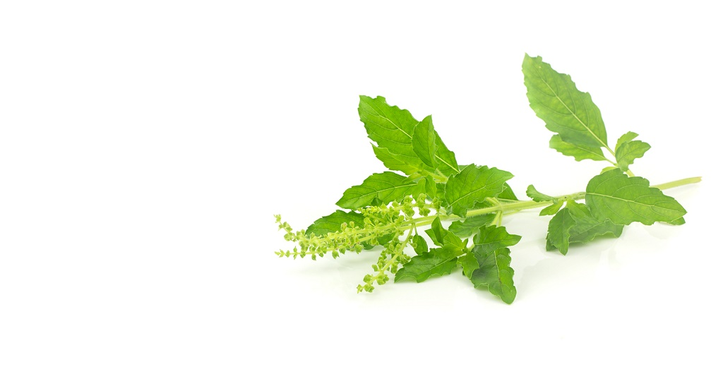 Fresh holy basil leaves - herb on white background